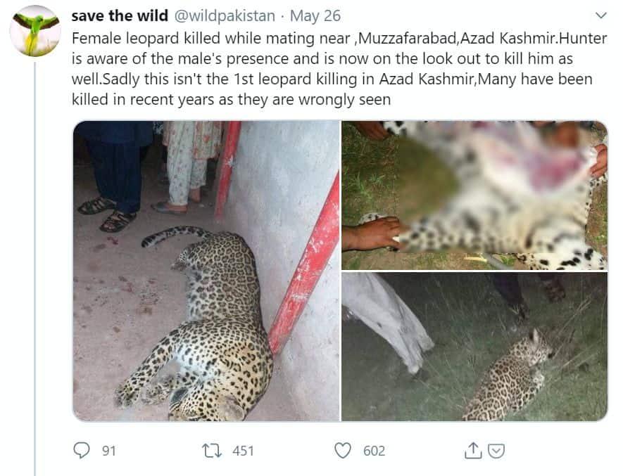 Hunter kills leopard muzaffarabad pakistan_censored