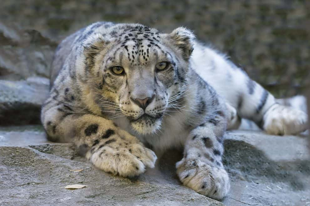 Pakistan: Hunter Kills Rare Female Leopard In Muzaffarabad