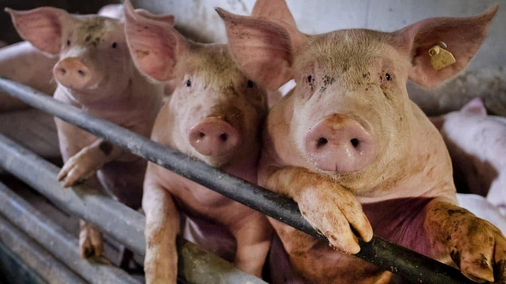 G4 Virus China Swine Flu Pigs