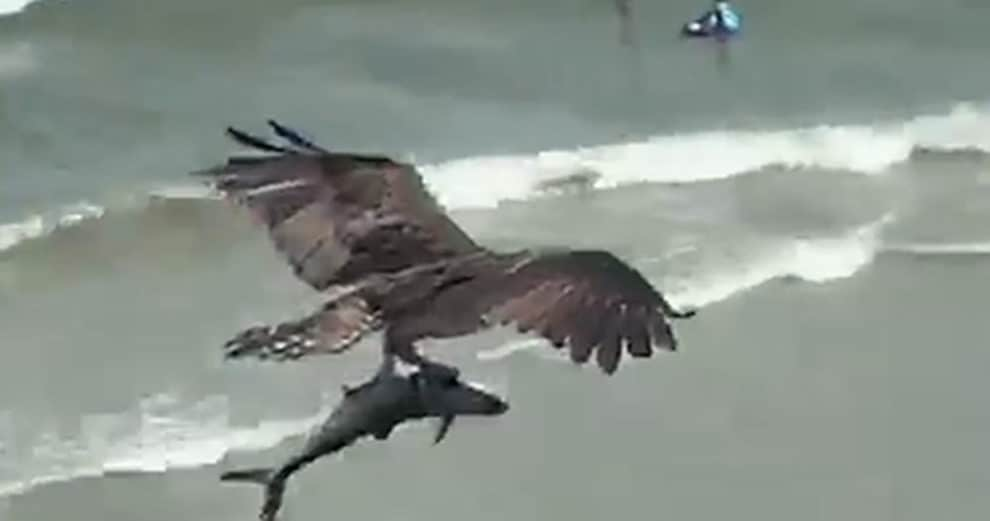 viral video osprey Eagle Carrying Shark Myrtle Beach