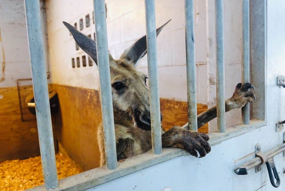 Fort Lauderdale Police Video Arrests Kangaroo