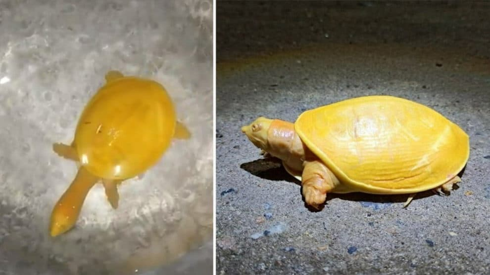 Yellow Turtle Balasore Odisha Viral video albino