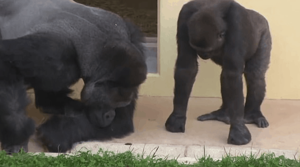 Video of Silverback Gorilla and his son observing caterpillar goes viral