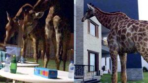 Giraffe Karachi DHA Video