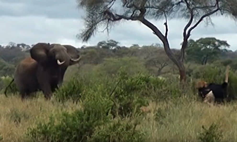 Video Elephant fighting Ostriches