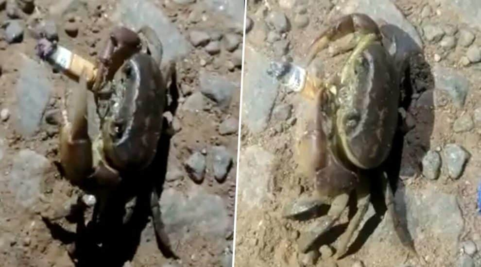 Crab Smoking Cigarette Viral Video