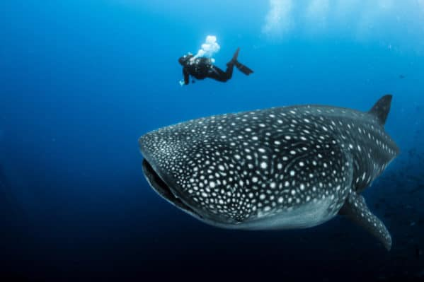 Top 10 Biggest Animals In The World: Whale Shark