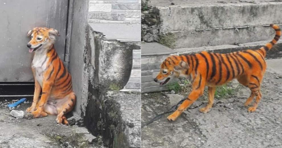 Stray Dog Painted Tiger Malaysia