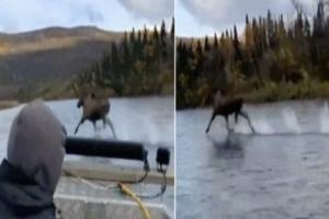 Video Moose running across river