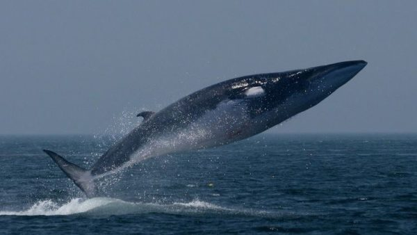 Top 10 Biggest Animals In The World: Fin Whale