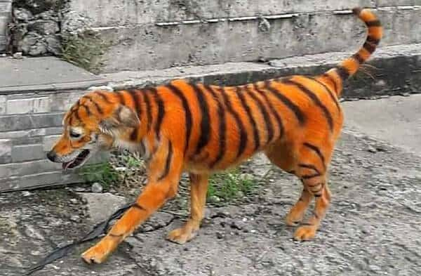 Image of a Stray Dog Painted Like Tiger in Malaysia