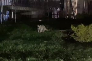 video racoon white house secret service search