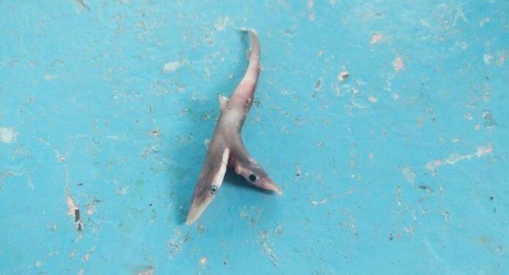 Two-headed Baby Shark Maharashtra