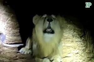 Video Lion Khanpur Pakistan