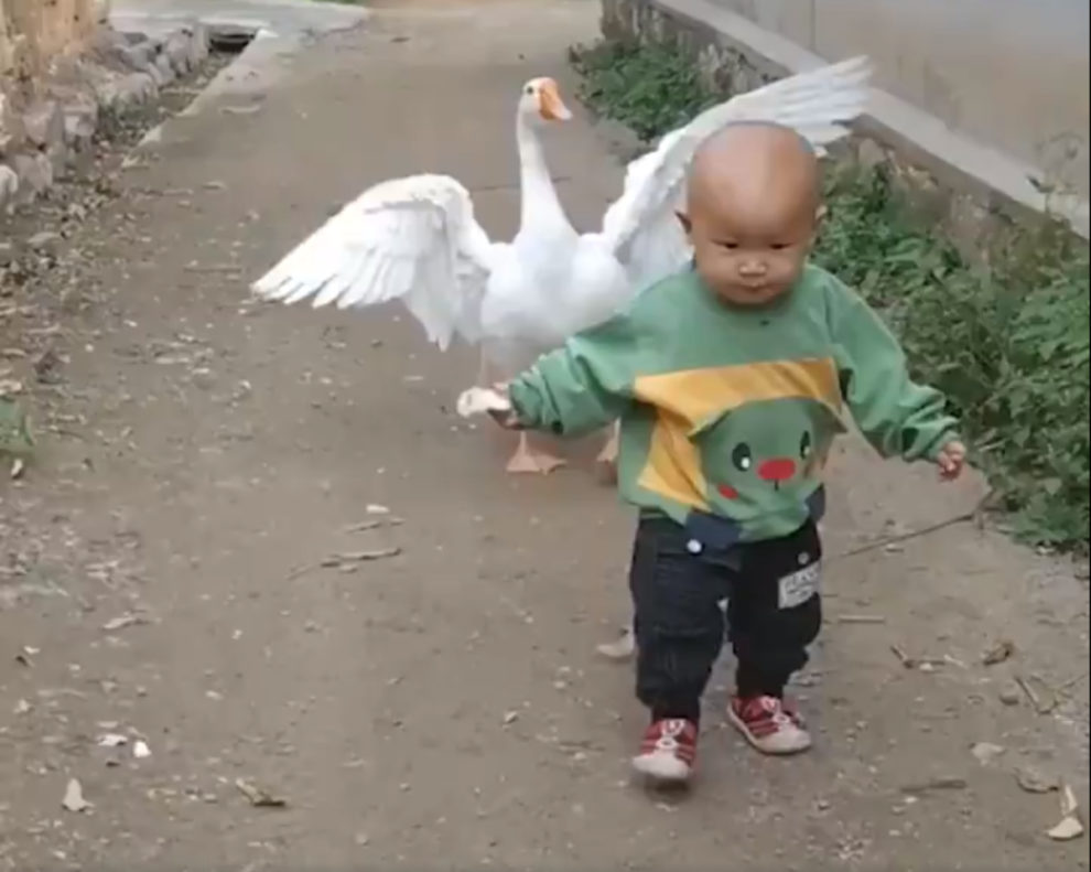 Video 1-Year-Old Boy Goose