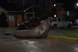 video elephant seal Chile Puerto Cisnes