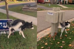 Dog urinates Trump campaign sign viral video