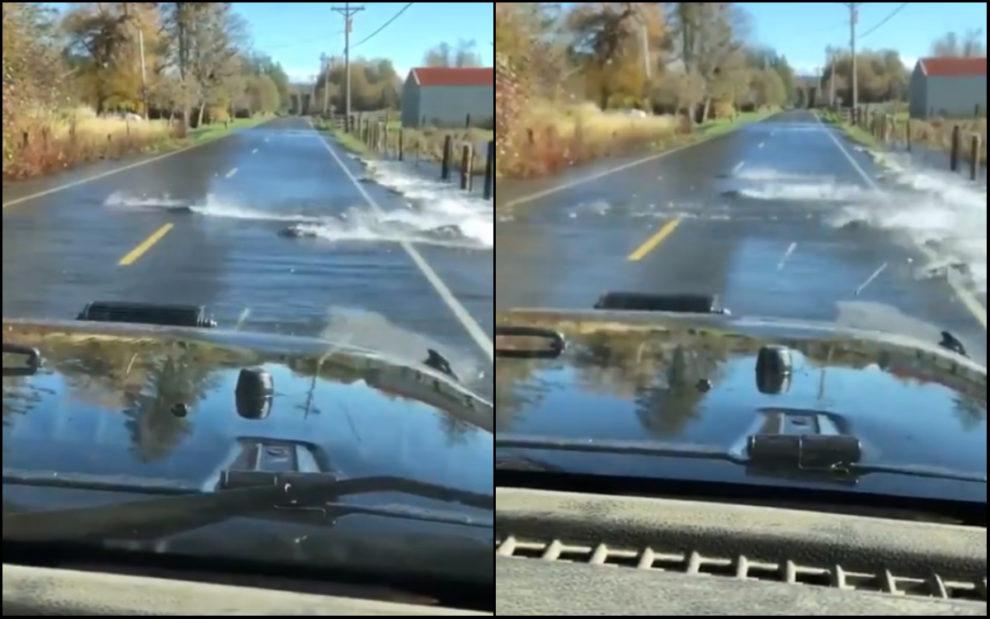 fish crossing road video