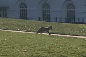 Video fox in white house