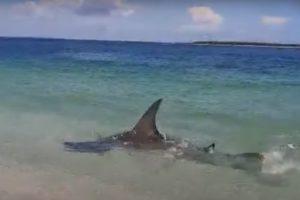 Hammerhead Shark Boca Grande