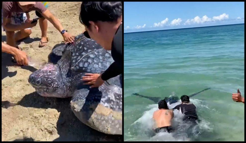 leatherback sea turtle rescue Indonesians