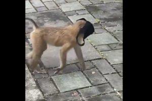 video monkey wearing face mask