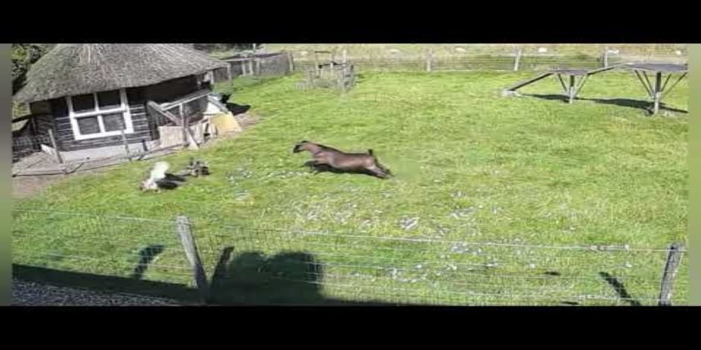 goat rooster save hen chicken video