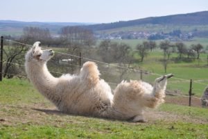 Llama nanobodies COVID treatment