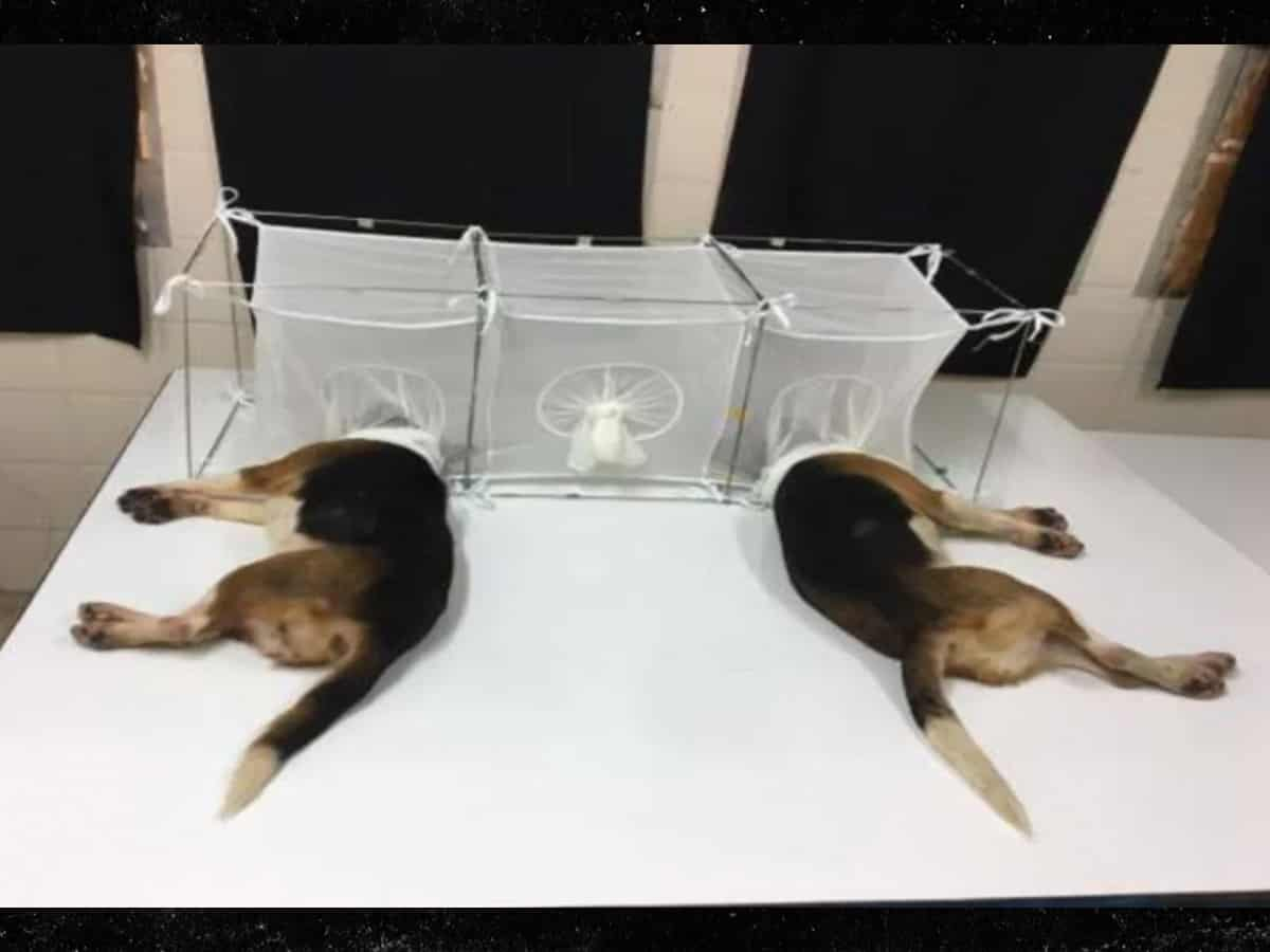 Dogs Fauci beagles experiments sandflies
